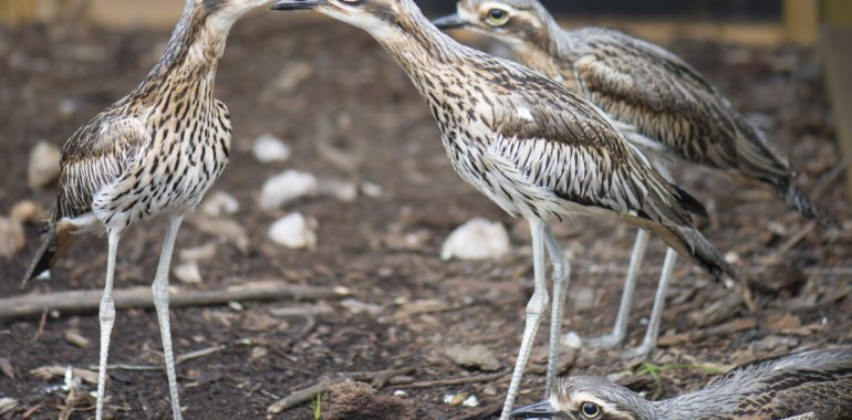 Safeguarding the Bush Stone-curlew